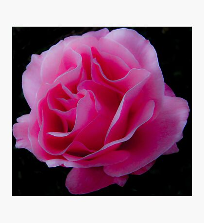 Soft as a Pink Rose Photographic Print