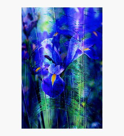 Blue Iris Photographic Print