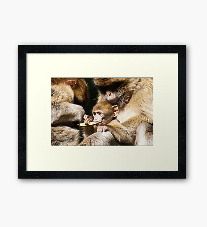 Barbary Monkeys Framed Print