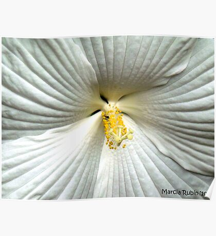 White Hibiscus Poster