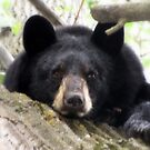It's Tough Being A Bear by Rose Gallik