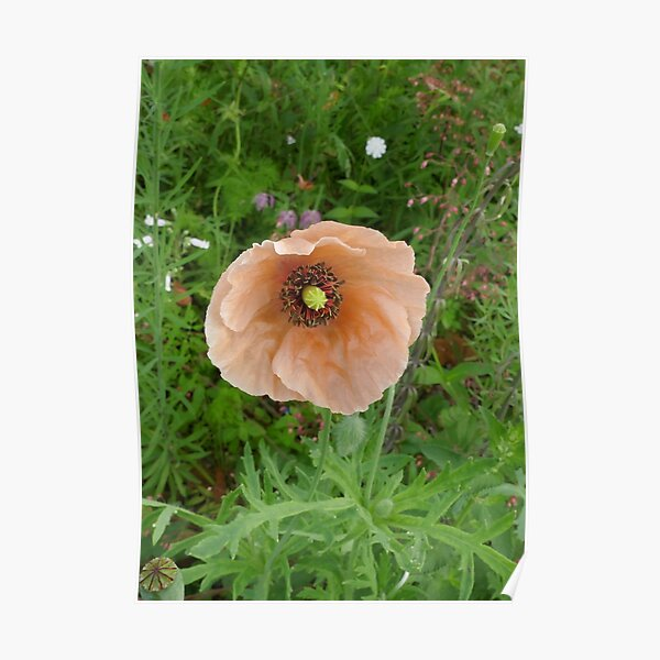 Peach-Colored Poppy Poster