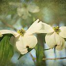 Dogwood Blooms by Jonicool