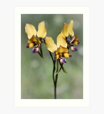 pansy orchid Art Print