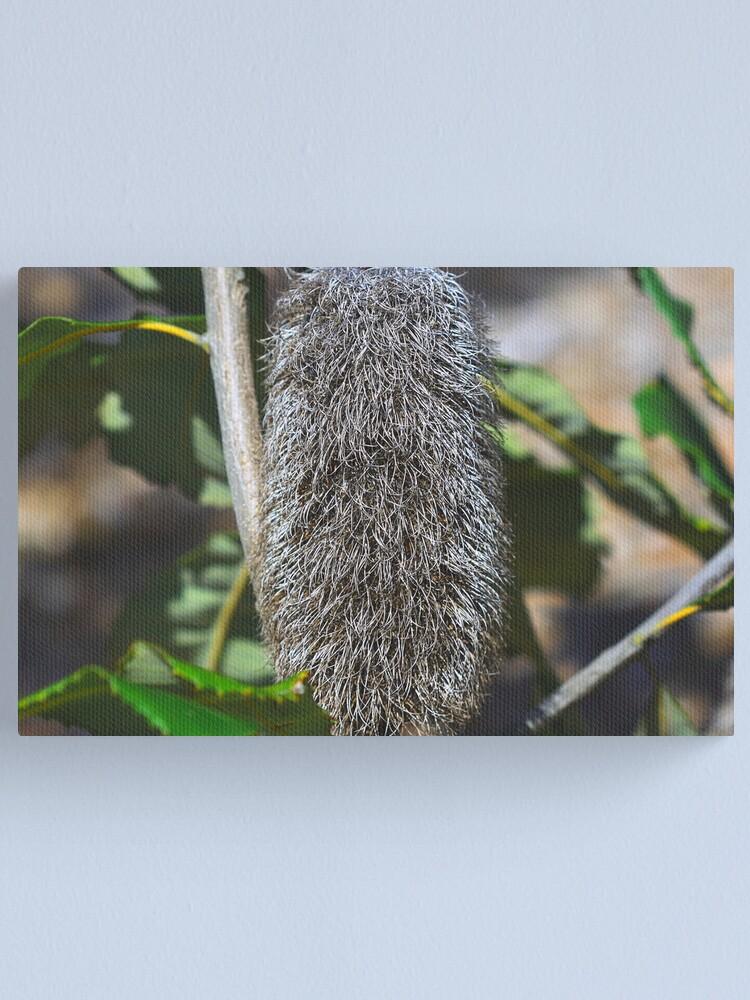 Alternate view of Banksia robur Canvas Print