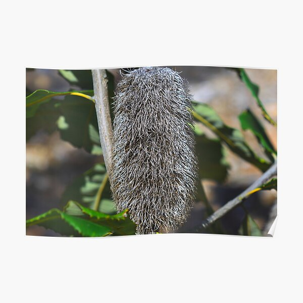Banksia robur Poster