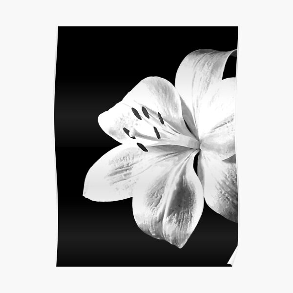 White Lily Black Background Poster