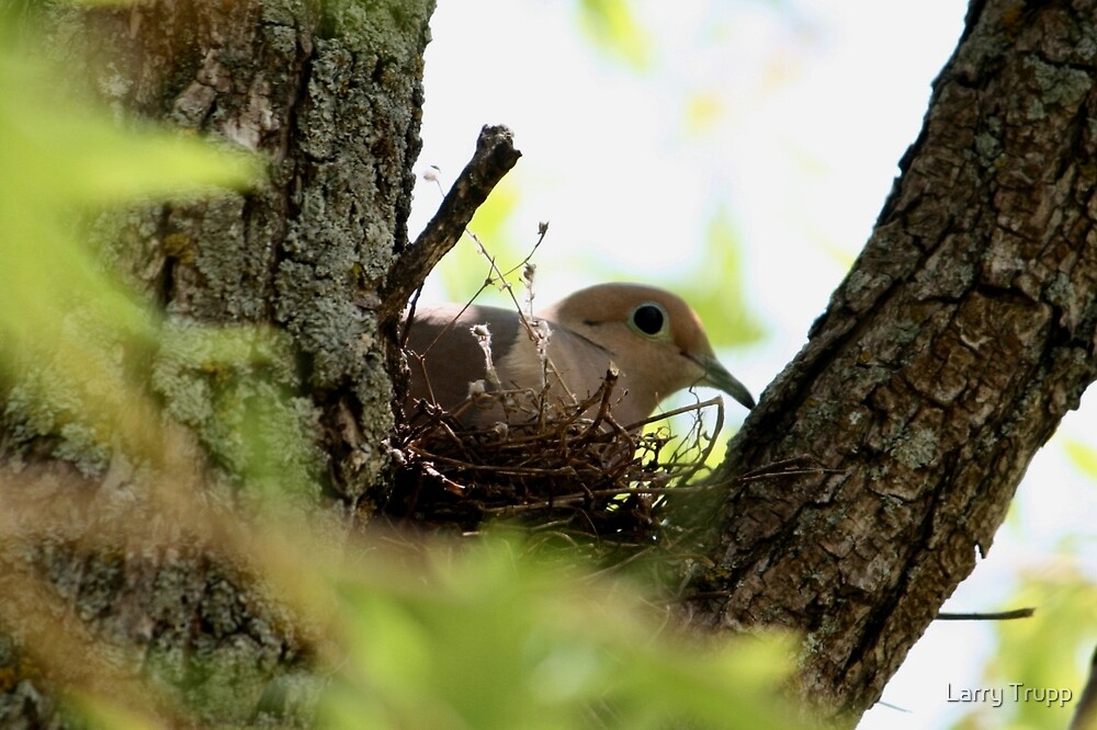 Dove Nesting by Larry Trupp