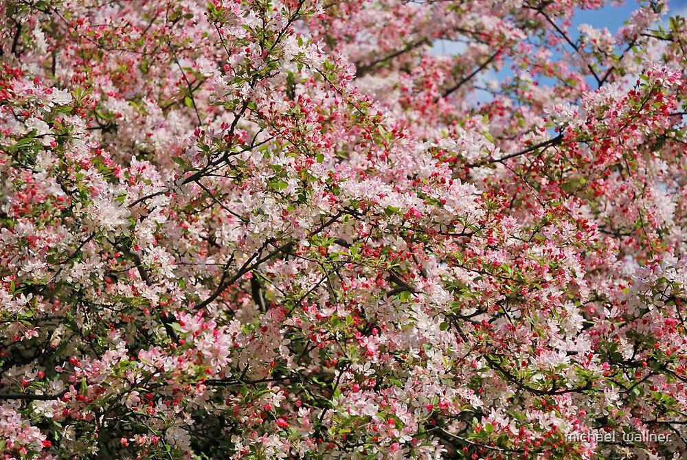 Cherry Blossom  by miketv