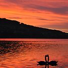 Swans at Sunset by Rosy Kueng Photography