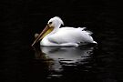 White Pelican by Vickie Emms