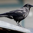 "Crow Atop a Promising ""Food Bin"" by Wolf Read"