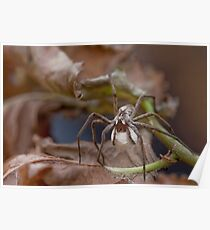 Spider with Egg Sack Poster