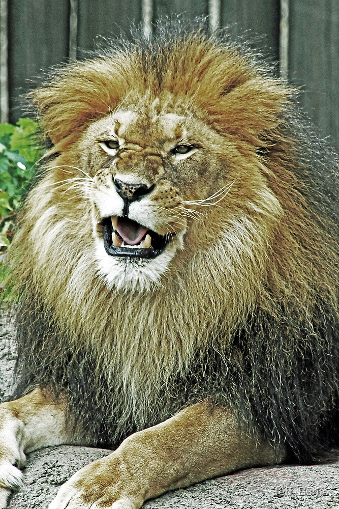 King Of The Jungle by Jeff  Burns