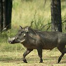 Trotting Warthog by Duncan Payne