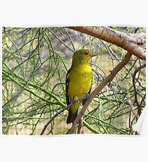 Western Tanager ~ Nonbreeding Male Poster