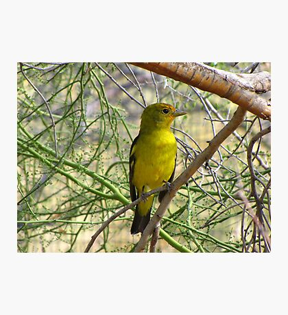 Western Tanager ~ Nonbreeding Male Photographic Print