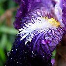 Iris Beard by Jen7
