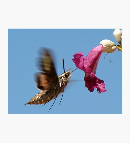 White-lined Sphinx Moth ~ 2 Photographic Print