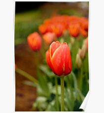 Apparently the worlds favorite Tulip! Poster