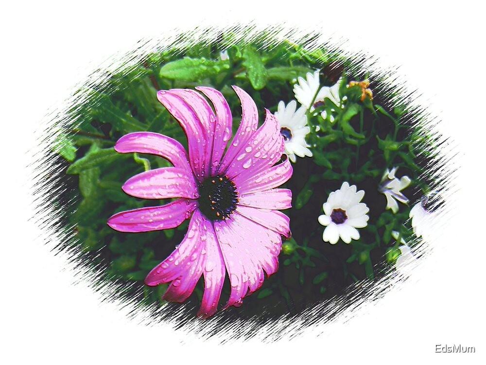 Large, beautiful Purple Daisy by EdsMum