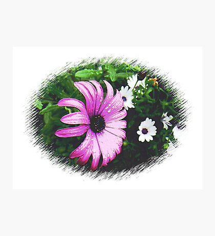 Large, beautiful Purple Daisy Photographic Print