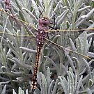 Dragonfly by Kath Whitchurch