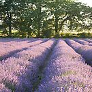 Lavender fields by Ian Middleton