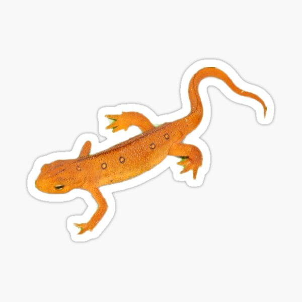 Red spotted newt Red eft Sticker