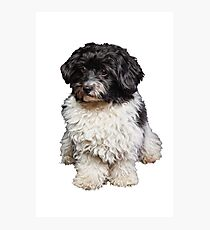 Cute Black And White Havanese Dog Painting Photographic Print