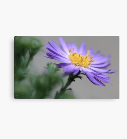 ---Ballad - Fall Aster Canvas Print