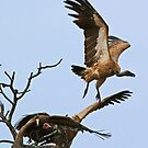 Vultures taking off! by Anthony Goldman