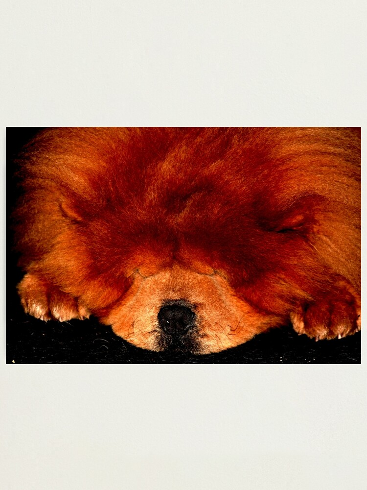 Alternate view of Sleeping Chow Chow Photographic Print