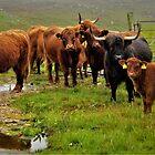 Island Highlanders  by jmnicolson