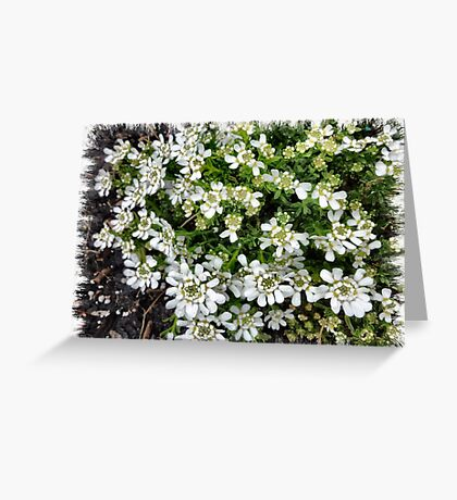 Candytuft - a small flower  Greeting Card