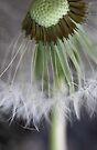 Dandelion Details by yolanda