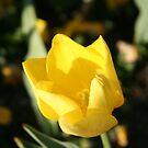 Yellow Tulips at Floriade by Kamran Baig