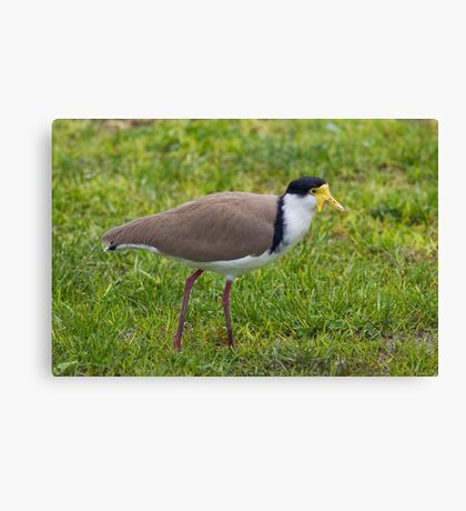 Masked Lapwing Canvas Print