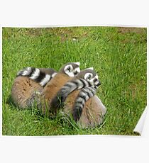 Ring Tailed Lemurs  Poster