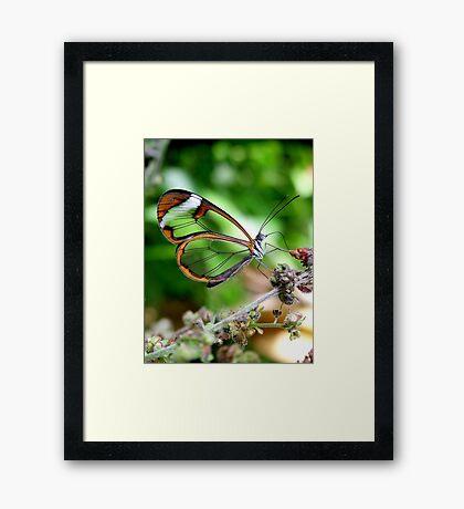 Glasswing Butterfly Framed Print
