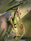 Praying Mantis (preening) by Aaron Campbell