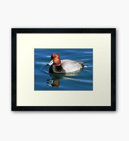 Redhead  Duck ~ Male II Framed Print