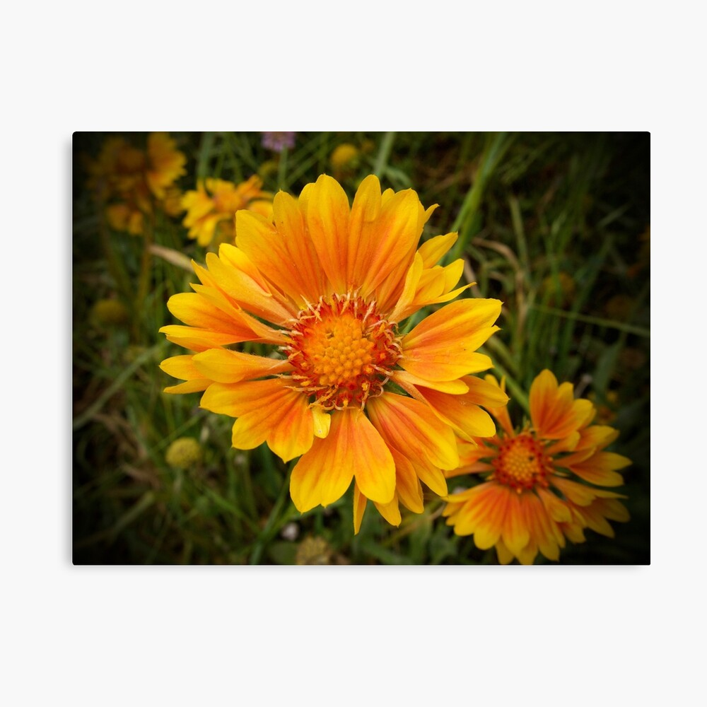 Shining Bright from A Gardener's Notebook Canvas Print