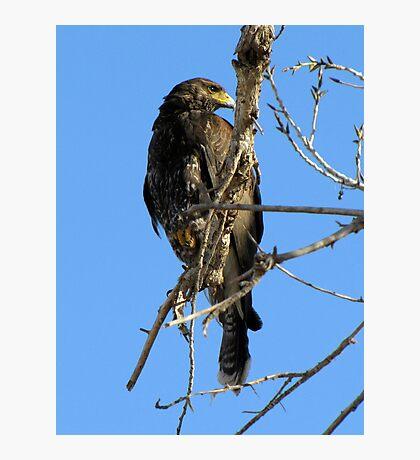 Harris's Hawk ~ Juvenile  Photographic Print