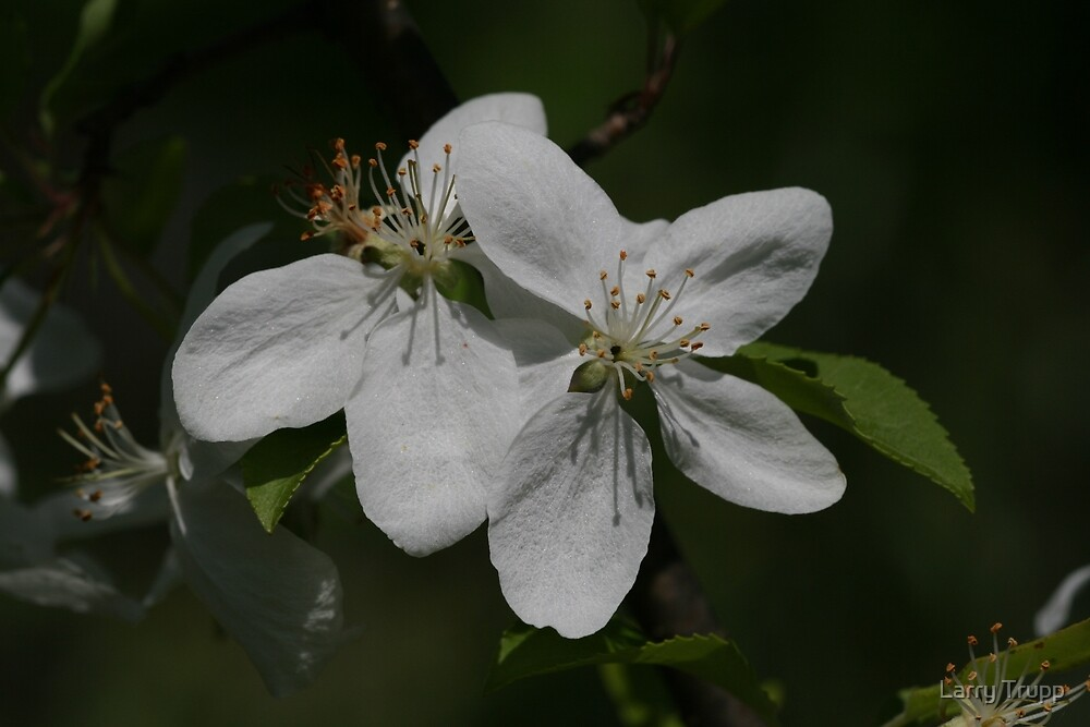 Flowering Saskatoon by Larry Trupp