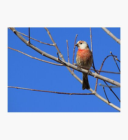 House Finch (Leucistic) ~ Male III Photographic Print