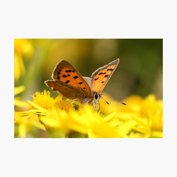 Copper Butterfly Photographic Print