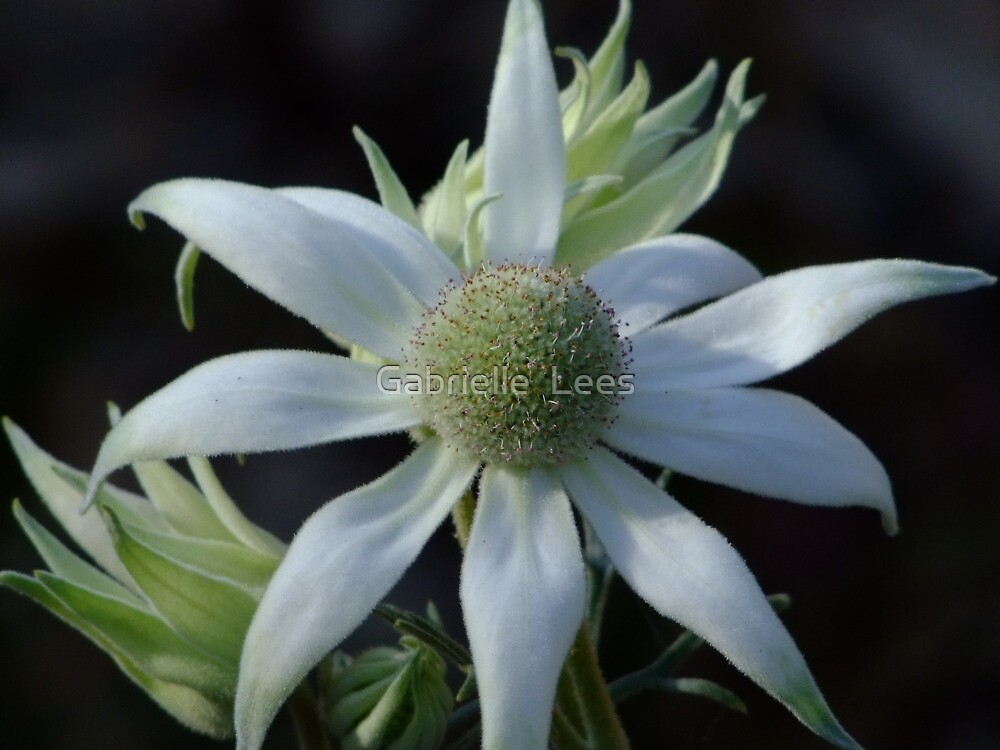 Australian Wildflowers - Flannel Flower by Gabrielle  Lees