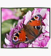 Peacock Butterfly (Aglais io) (I) Poster