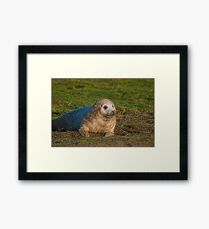 Pup Seal Framed Print